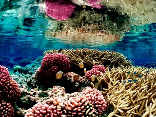 Fish pee provides key nutrients for coral reefs
