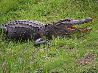 Gator greets family on 2nd floor of home