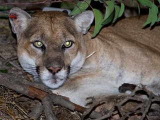 LA mountain lions could be extinct in 50 years