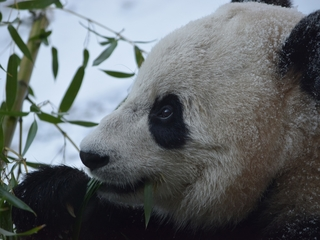 Bao Bao the panda will move to China