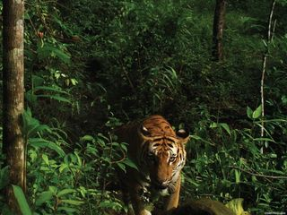 Endangered tigers are breeding in Thailand