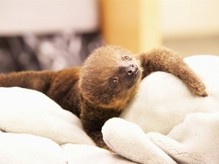 Two-toed sloth born at Memphis Zoo