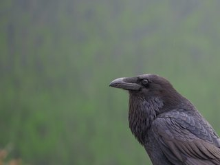 Ravens can delay their gratification