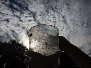 Scientists to release 20 million mosquitoes here