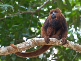 Rare monkeys are dying of yellow fever in Brazil