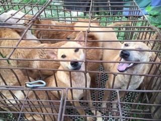 Yulin dog meat festival is still happening