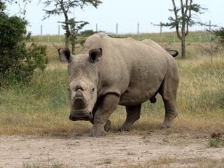 The World's Last Male Northern White Rhino Dies