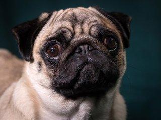 United Airlines bans several dog, cat breeds